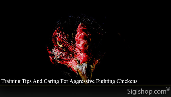 Training Tips And Caring For Aggressive Fighting Chickens